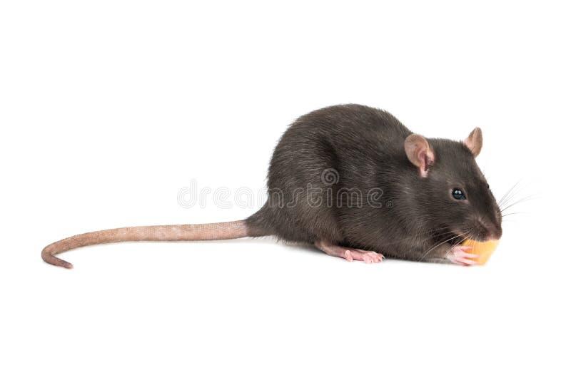 Rato cinzento com queijo imagem de stock royalty free