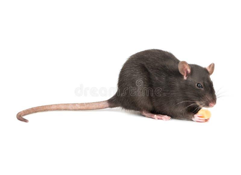 Rato cinzento com queijo imagem de stock