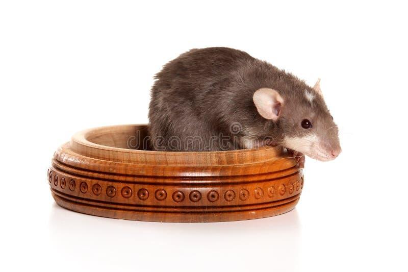 Rato cinzento na caixa imagens de stock