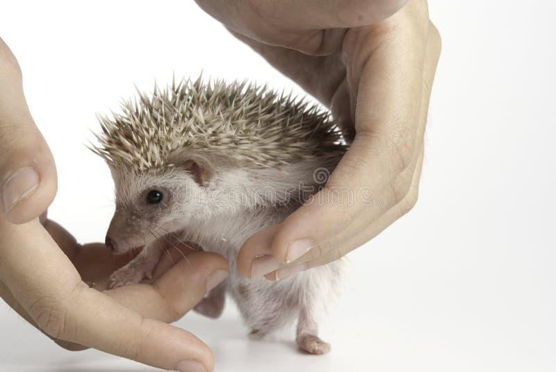 Rato da lua ou hedgehog do pigmeu imagens de stock royalty free