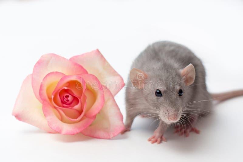 Rato da mão, rato do dumbo, animais de estimação em um fundo branco, um rato pequeno muito bonito, um rato ao lado de uma rosa fotografia de stock