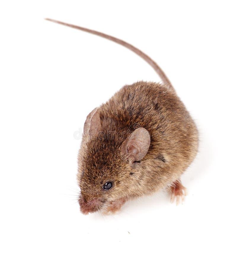 Rato de Brown fotografia de stock