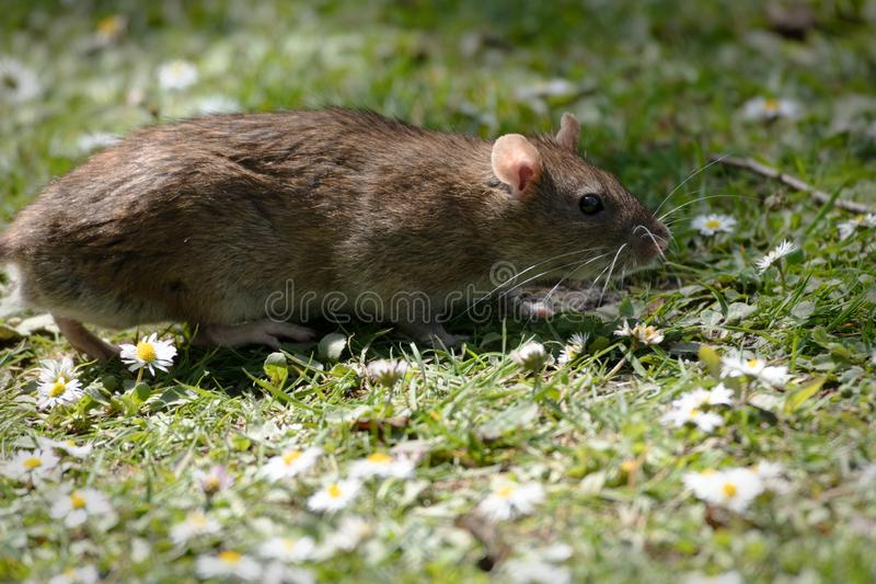 Rato de Brown entre as margaridas fotos de stock