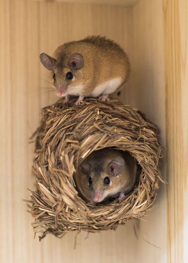 Rato de Brown no ninho foto de stock royalty free