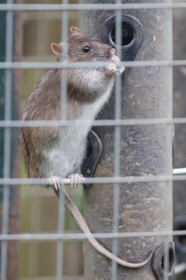 Rato de Brown (novegicus do Rattus) fotos de stock