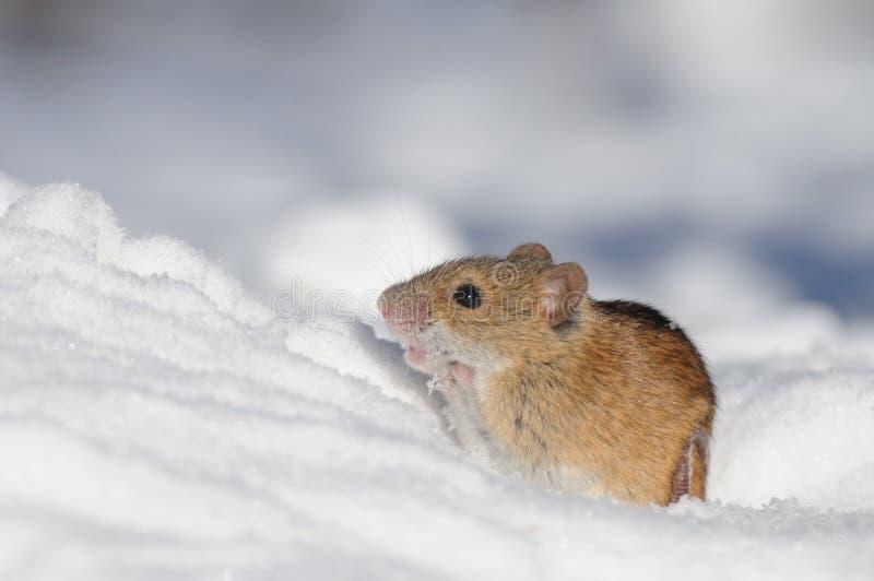 Rato de campo listrado na neve imagem de stock