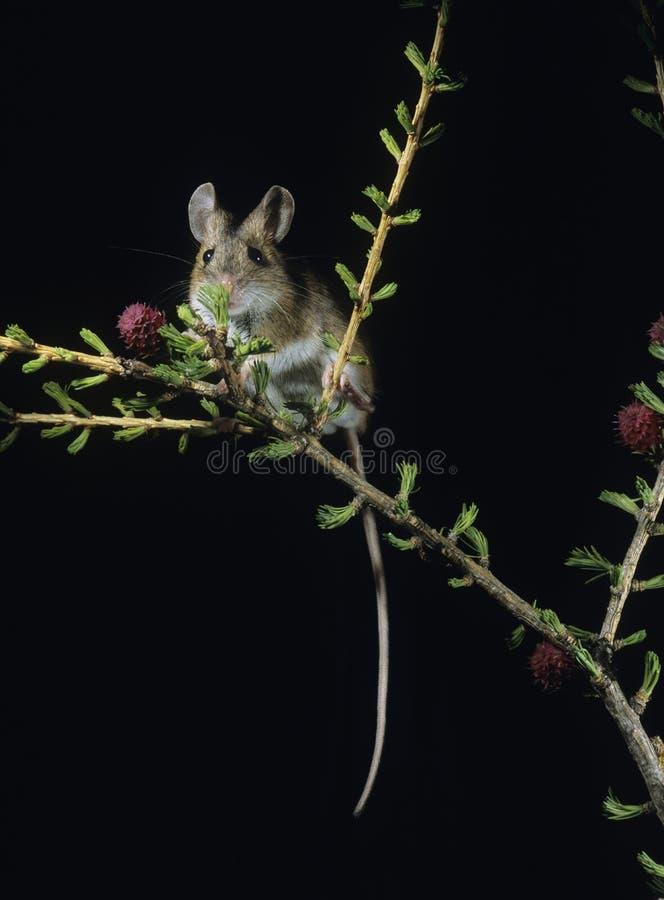 Rato de canguru no galho foto de stock royalty free