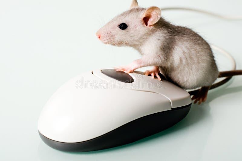 Rato de casa foto de stock