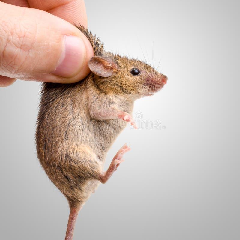 Rato de casa capturado (musculus de Mus) fotos de stock royalty free
