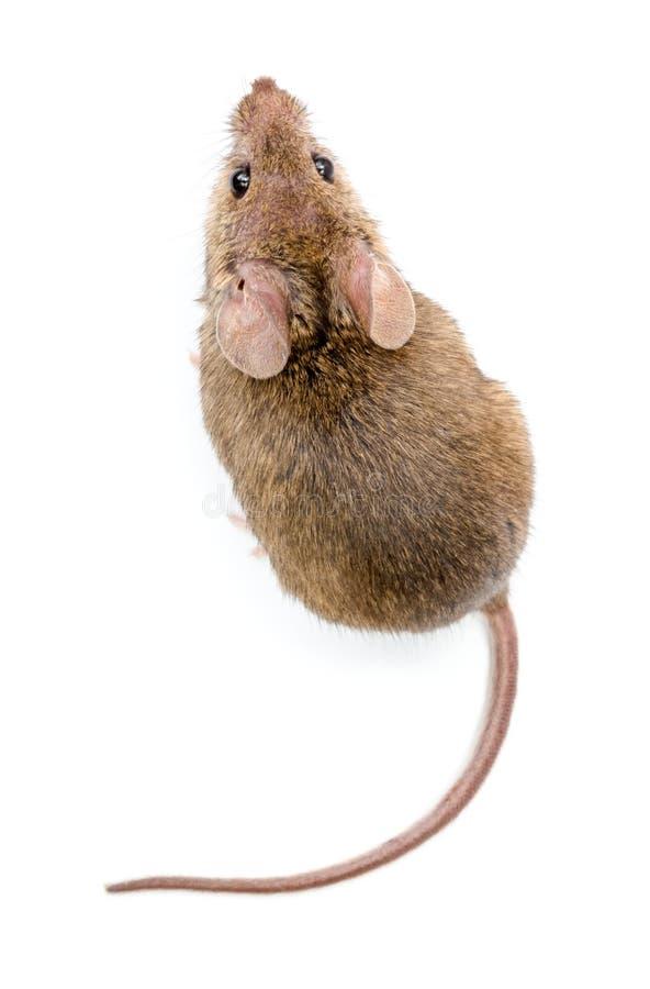 Rato de casa (musculus de Mus) fotos de stock royalty free