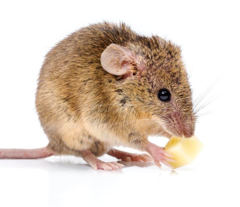 Rato de casa (musculus de Mus) que come o queijo imagem de stock