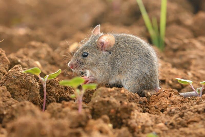 Rato de casa oriental - musculus de Mus imagem de stock