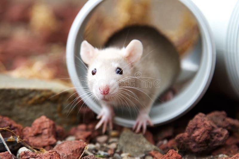 Rato de creme foto de stock