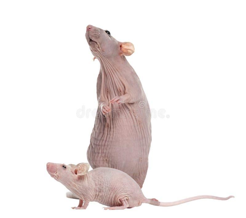 Rato de Hairlesss e rato de casa calvo, isolados imagem de stock