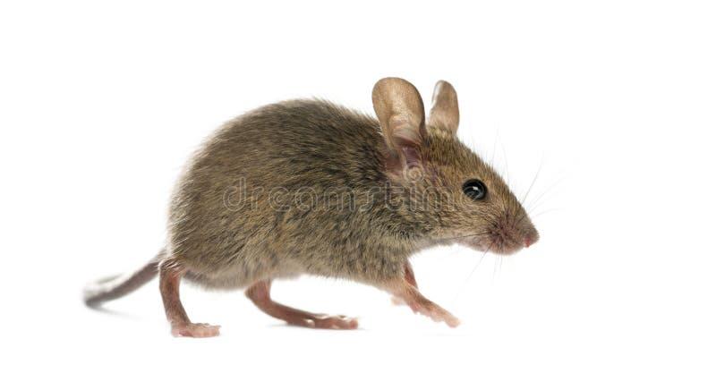Rato de madeira imagens de stock
