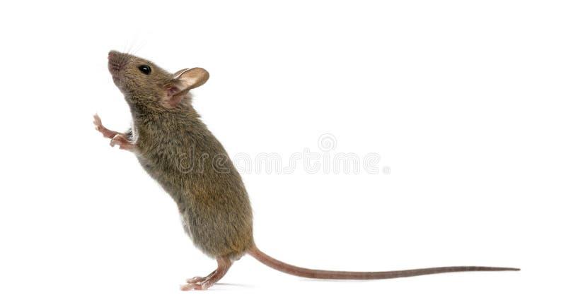 Rato de madeira que olha acima foto de stock royalty free