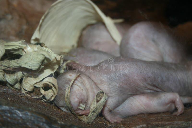 Rato de toupeira fotografia de stock
