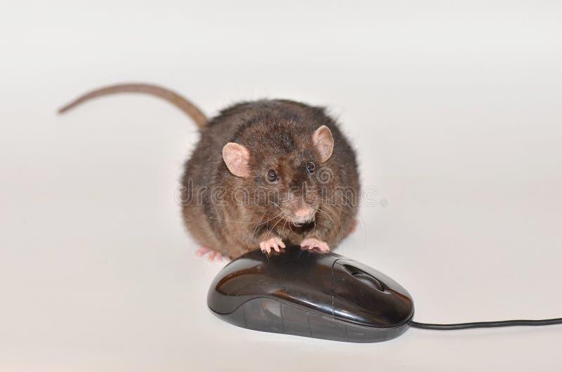 Rato do rato e do computador fotos de stock royalty free