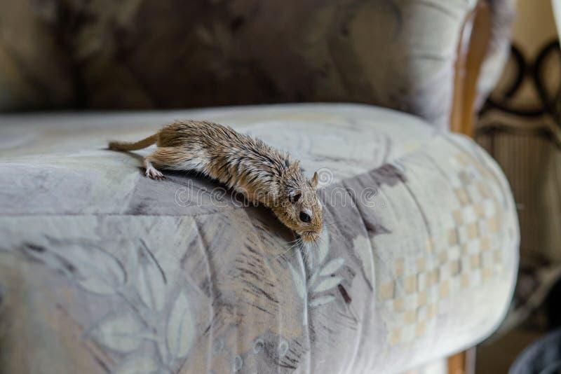 Rato do gerbo na cadeira foto de stock