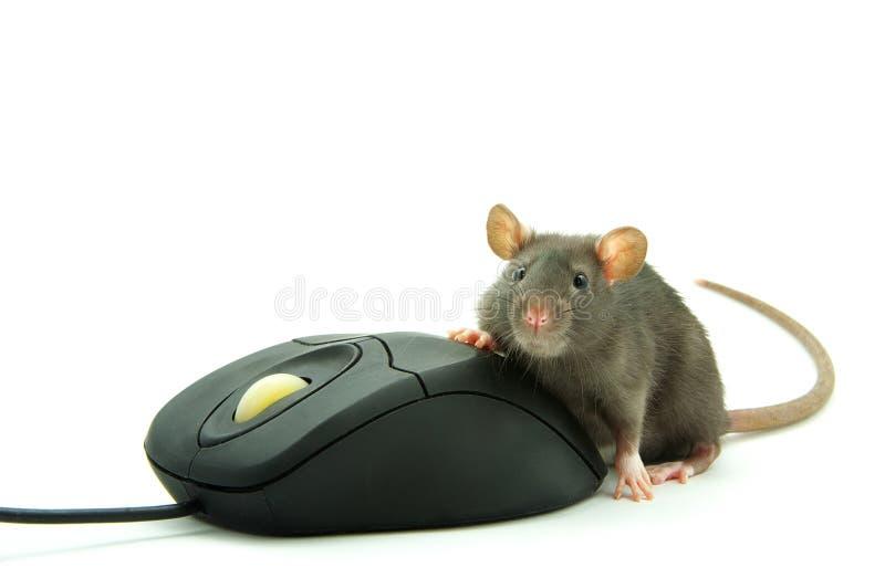 Rato do rato e do computador imagens de stock