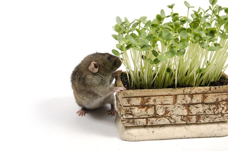 Rato e brotos novos da melancia em um potenciômetro de argila imagem de stock