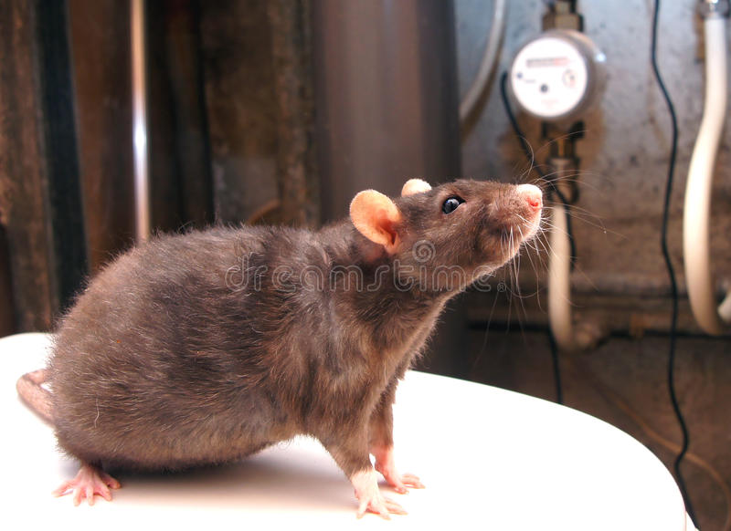 Rato e contadores imagem de stock royalty free