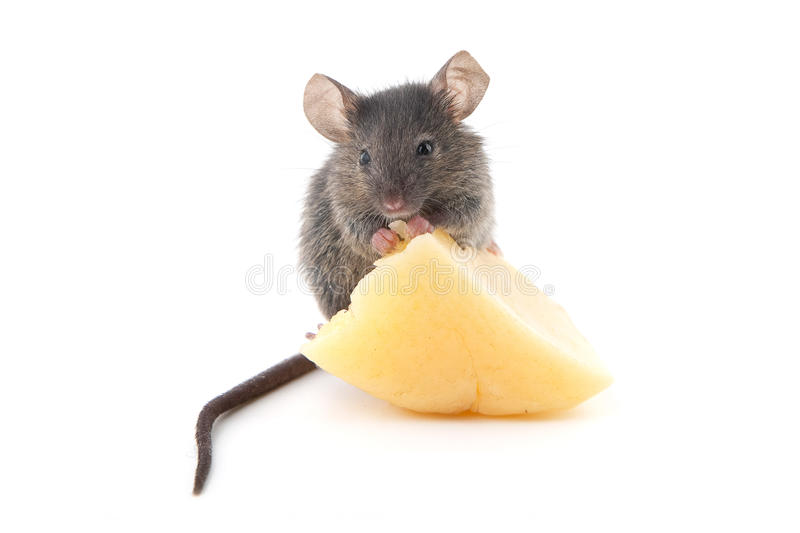 Rato e queijo fotografia de stock