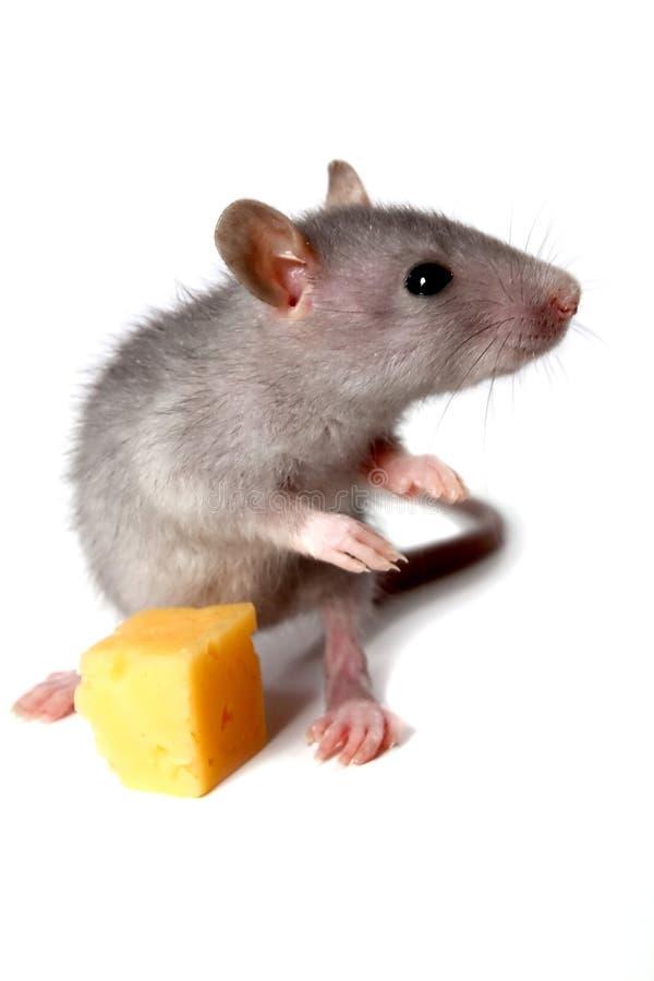 Rato e queijo cinzentos fotografia de stock royalty free