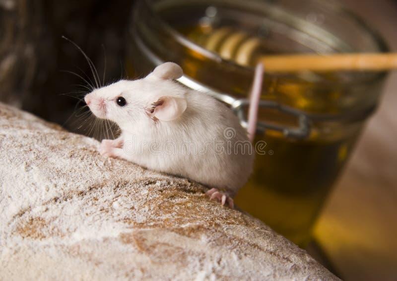 Rato em um naco foto de stock