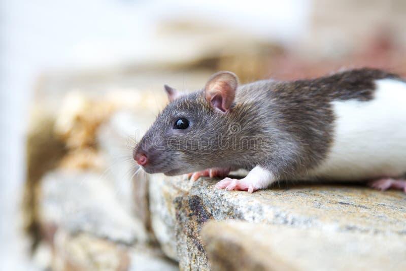 Rato encapuçado imagem de stock