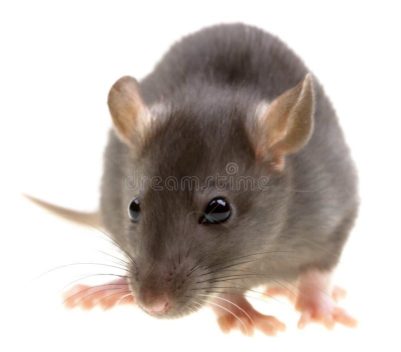 Rato engraçado isolado no branco fotos de stock royalty free