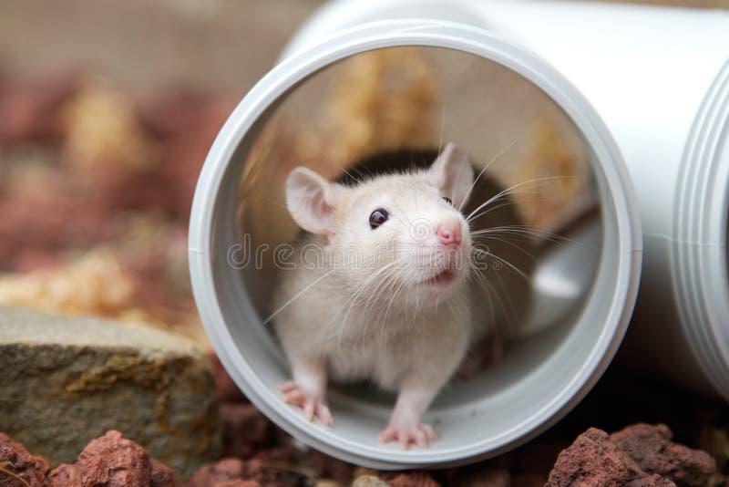 Rato escondendo fotos de stock