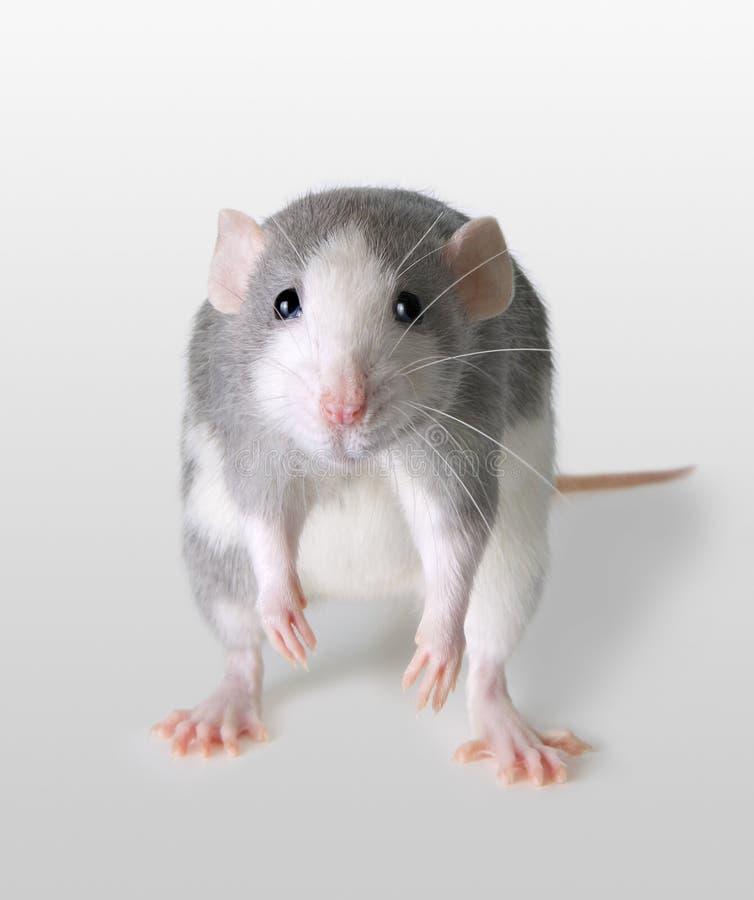 Rato infeliz foto de stock royalty free