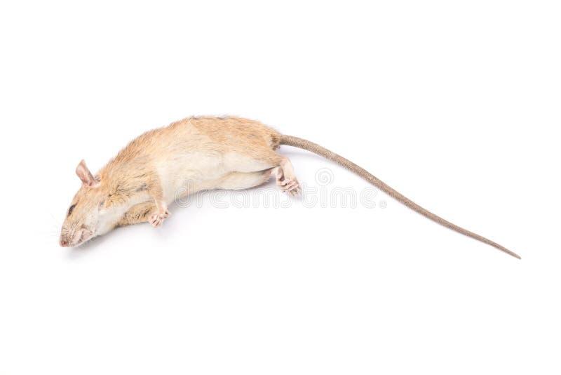 Rato inoperante isolado no fundo branco fotografia de stock royalty free