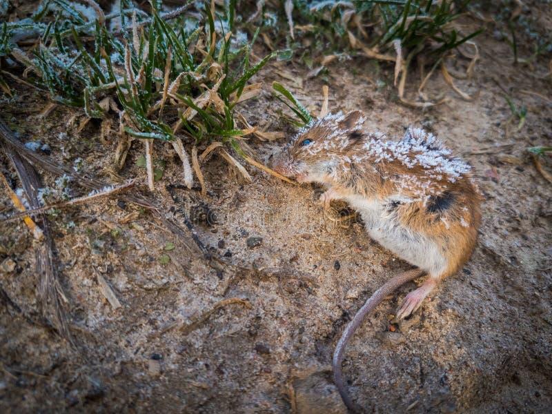 Download Rato Inoperante Que Encontra-se Na Terra, Imagem de Stock - Imagem de vermin, exterminação: 107527857