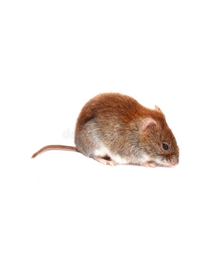 Rato marrom pequeno isolado foto de stock royalty free