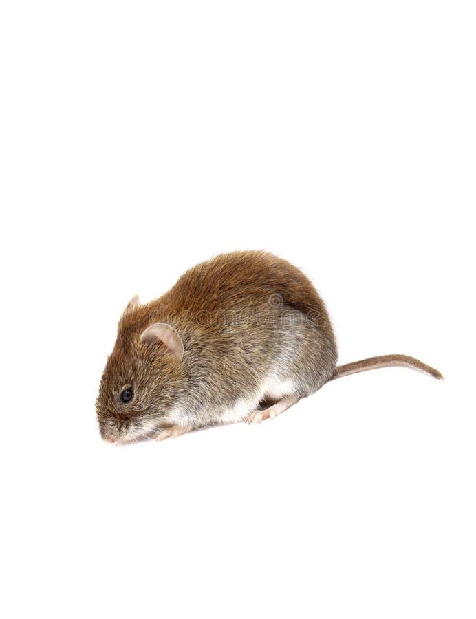 Rato marrom pequeno isolado fotografia de stock