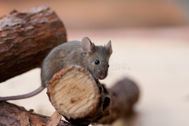 Rato marrom pequeno no registro fotografia de stock