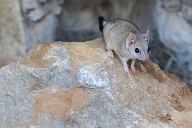rato marsupial Escova-atado imagens de stock