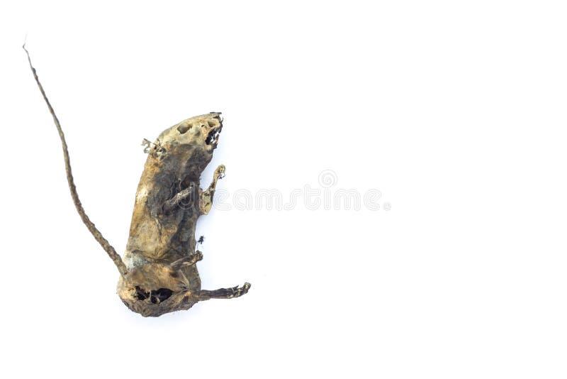 Rato mumificado por natureza no fundo branco fotografia de stock royalty free