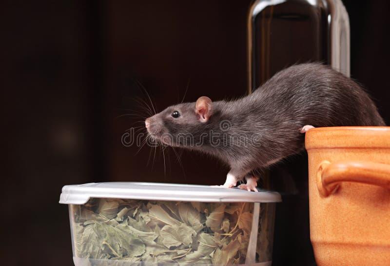 Rato na cozinha fotografia de stock