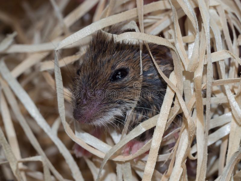 Rato nas lãs de madeira fotografia de stock