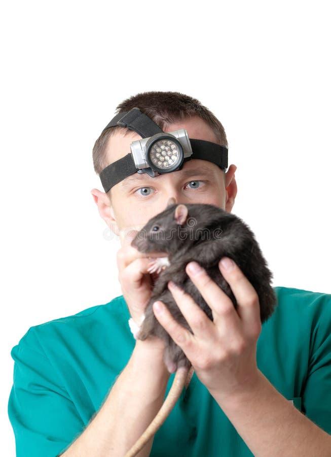 Rato nas mãos do cirurgião veterinário imagens de stock royalty free