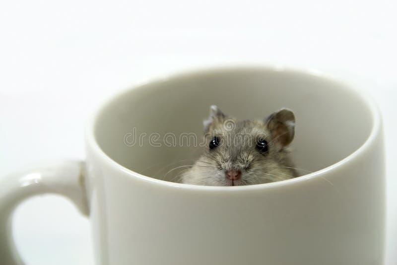 Rato no copo fotos de stock