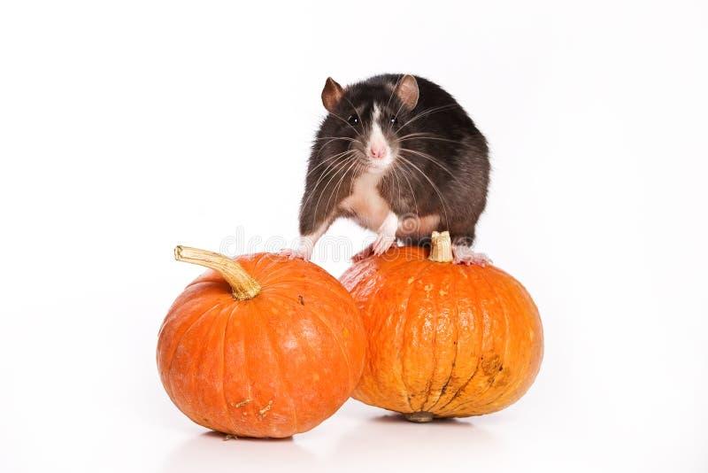 Rato no fundo branco fotografia de stock