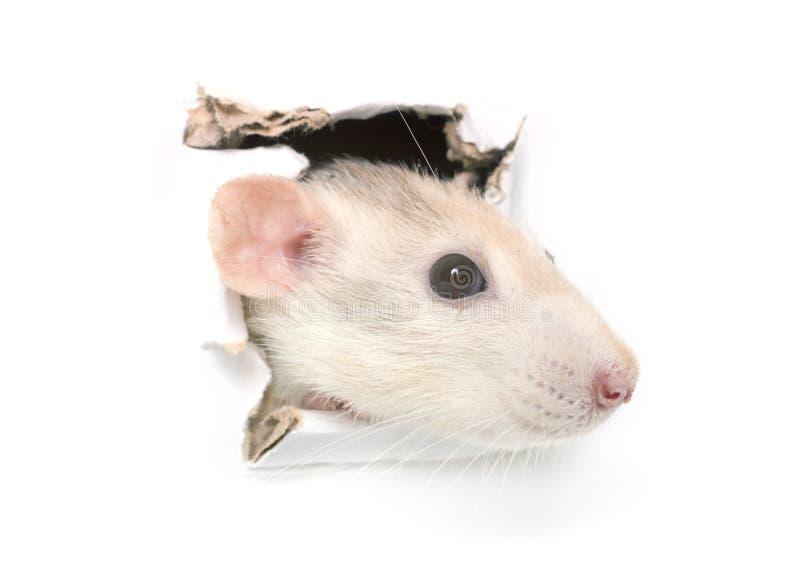 Rato no furo fotografia de stock