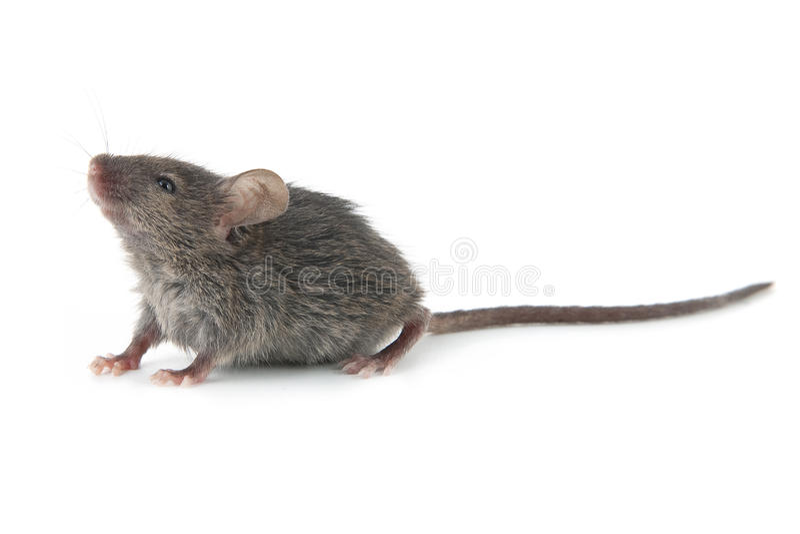 Rato pequeno fotos de stock
