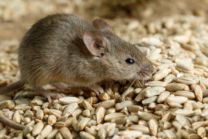 Rato pequeno da ratazana do close up que espreita na pilha da grão do centeio no armazém imagens de stock