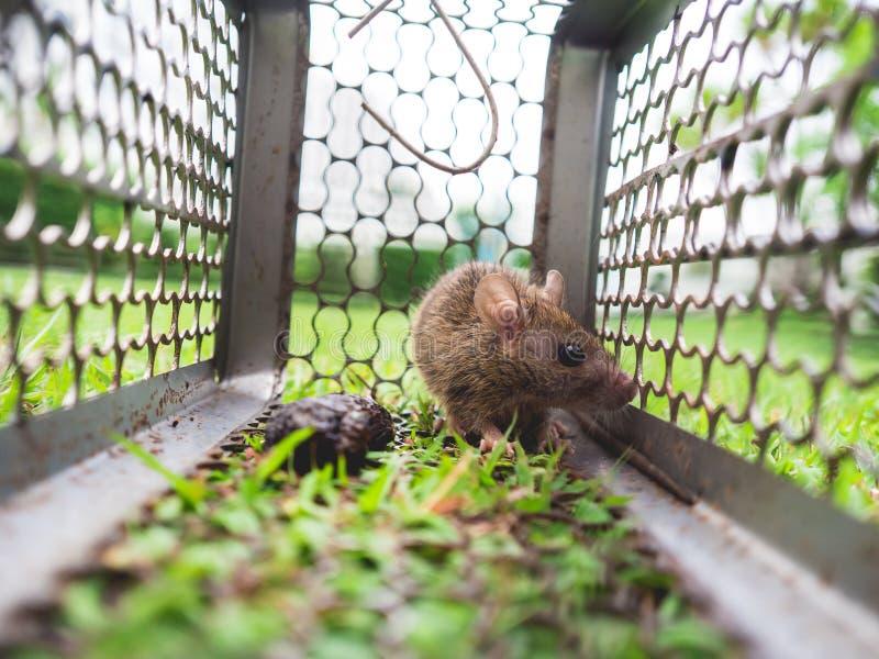 Rato pequeno prendido em uma gaiola fotografia de stock