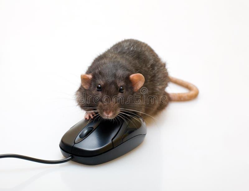 Rato preto e um rato imagem de stock